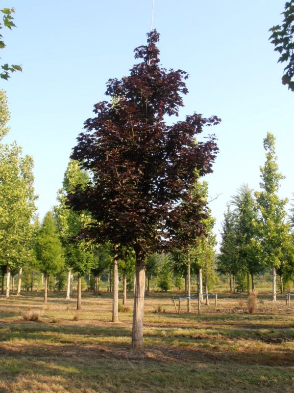 Acer plat. Royal Red ; C ; Hoogstam ; 8/10